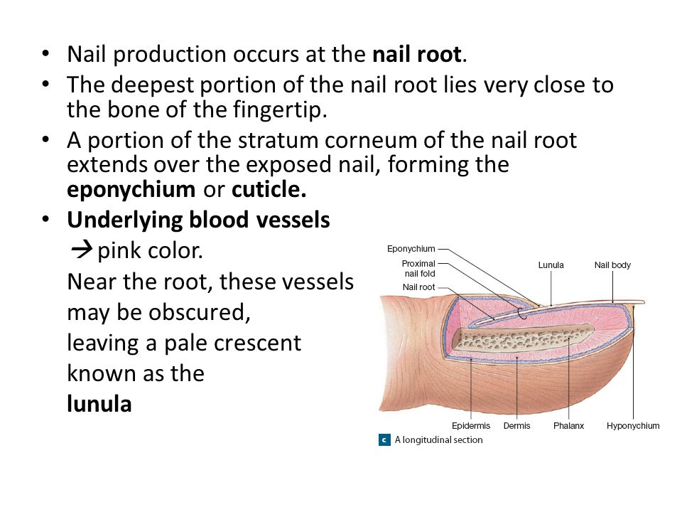 Nail production occurs at the nail root. The deepest portion of the nail root lies very close to the bone of the fingertip. A portion of the stratum c