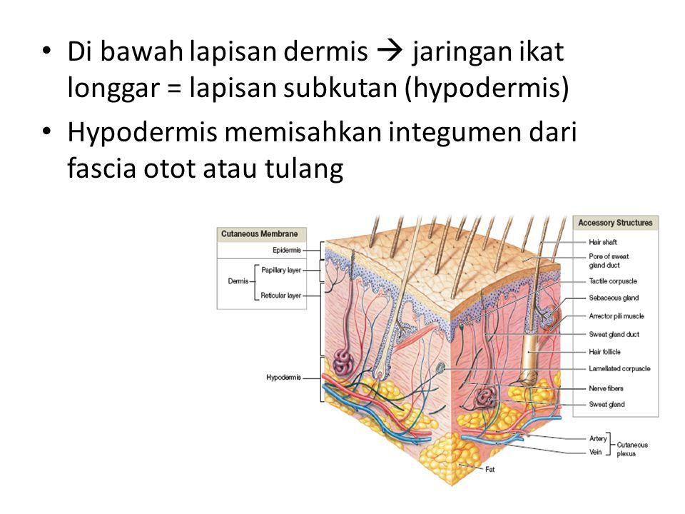 Di bawah lapisan dermis  jaringan ikat longgar = lapisan subkutan (hypodermis) Hypodermis memisahkan integumen dari fascia otot atau tulang