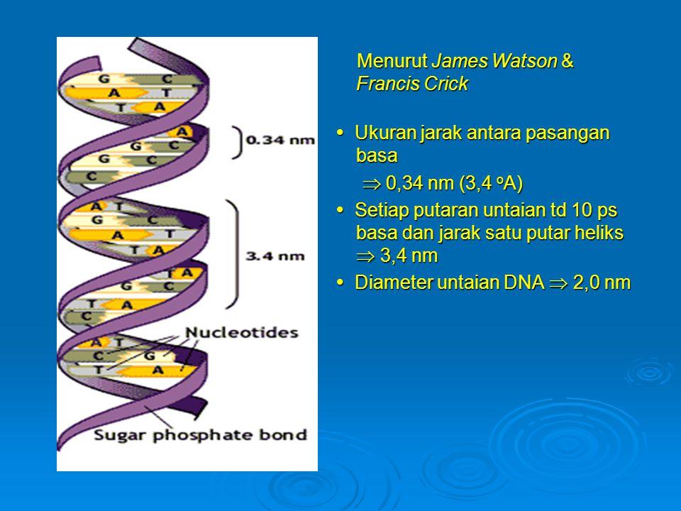 Menurut James Watson & Francis Crick Menurut James Watson & Francis Crick  Ukuran jarak antara pasangan basa  Ukuran jarak antara pasangan basa  0,34 nm (3,4 o A)  0,34 nm (3,4 o A)  Setiap putaran untaian td 10 ps basa dan jarak satu putar heliks  3,4 nm  Setiap putaran untaian td 10 ps basa dan jarak satu putar heliks  3,4 nm  Diameter untaian DNA  2,0 nm  Diameter untaian DNA  2,0 nm