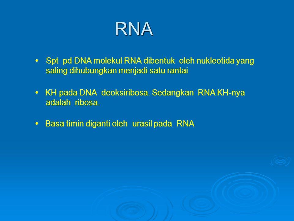 RNA   Spt pd DNA molekul RNA dibentuk oleh nukleotida yang saling dihubungkan menjadi satu rantai  KH pada DNA deoksiribosa.