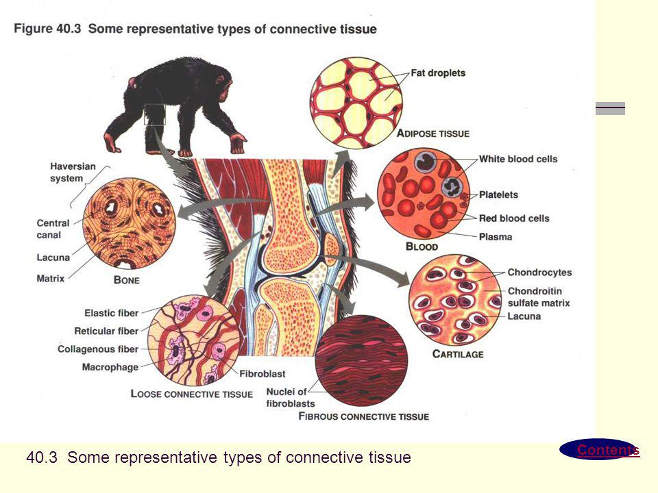 Contents 40.3 Some representative types of connective tissue