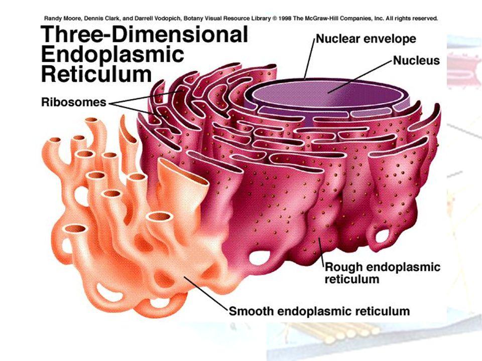 Macam Retikulum endoplasma RE Kasar (Rough Endoplasmic Reticulum - RER), bentuknya diselubungi ribosom sehingga tampak berbintil-bintil.