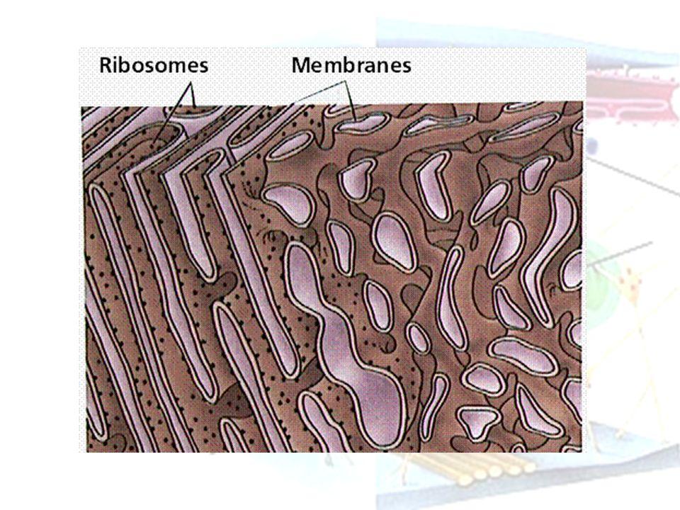 Fungsi Retikulum Endoplasma Mensintesis lemak dan kolesterol (RE kasar dan RE halus) Menampung protein yang disintesis oleh ribosom untuk disalurkan ke kompleks golgi dan akhirnya dikeluarkan dari sel (RE Kasar) Transportasi molekul dari bagian sel yang satu ke yang lain (RE Kasar dan RE Halus) Menetralkan racun (detoksifikasi)