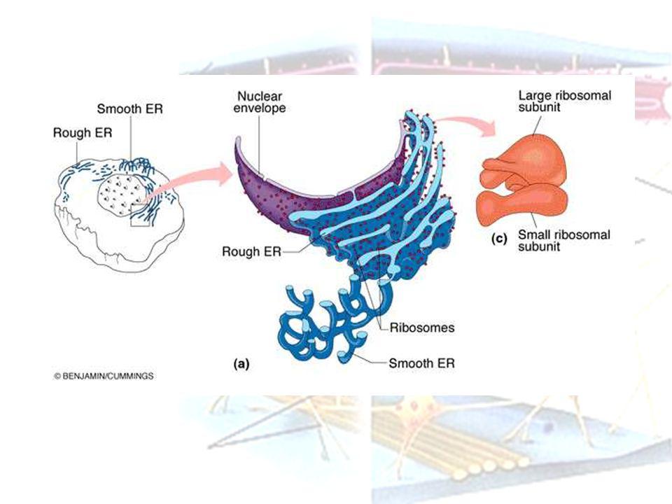 Ribosom Merupakan struktur paling kecil dalam sitoplasma Ada yang bebas ada yang terikat RE Berperanan dalam sintesa protein