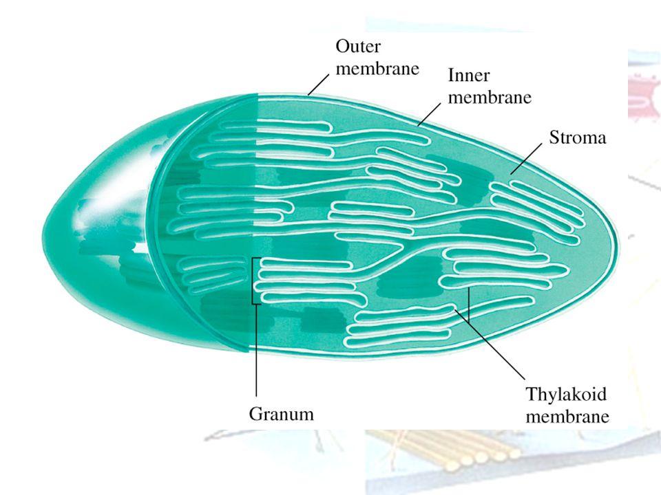 Sentriol Sel hewan dan beberapa mikroorganisme serta tumb tkt rendah mengandung dua sentriol Terletak dekat permukaan luar nukleus Terdiri dari sebaris silinder 9 mikrotubula Berperanan dalam pembelahan sel