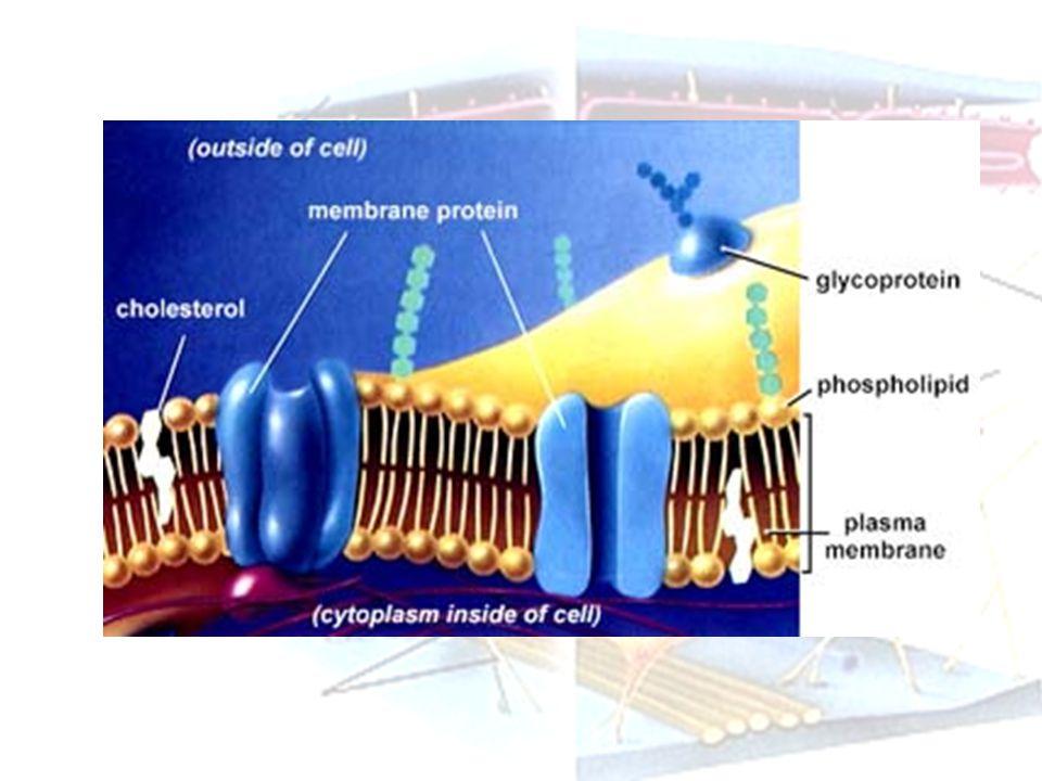 Struktur membran sel Tersusun dari lapisan lipid rangkap dua yang disusun oleh fosolipid