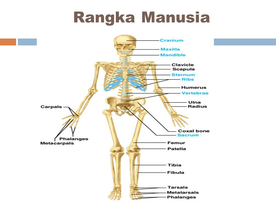  Tulang selangka berkembang baik pada beberapa mamal tetapi mereduksi atau sama sekali pada mamal lainnya.