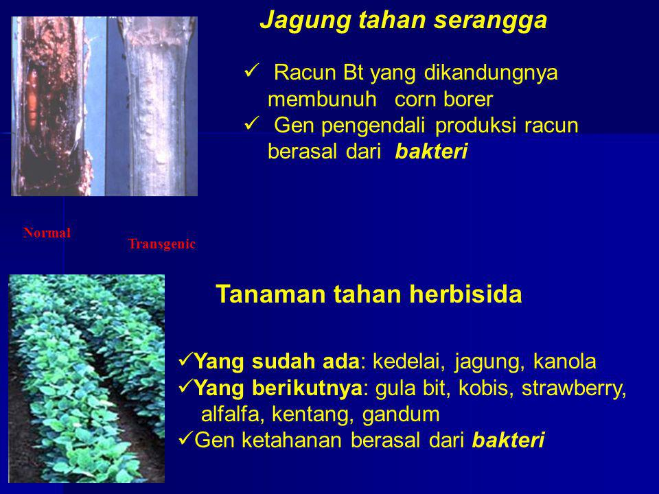 Jagung tahan serangga Normal Transgenic Racun Bt yang dikandungnya membunuh corn borer Gen pengendali produksi racun berasal dari bakteri Tanaman taha