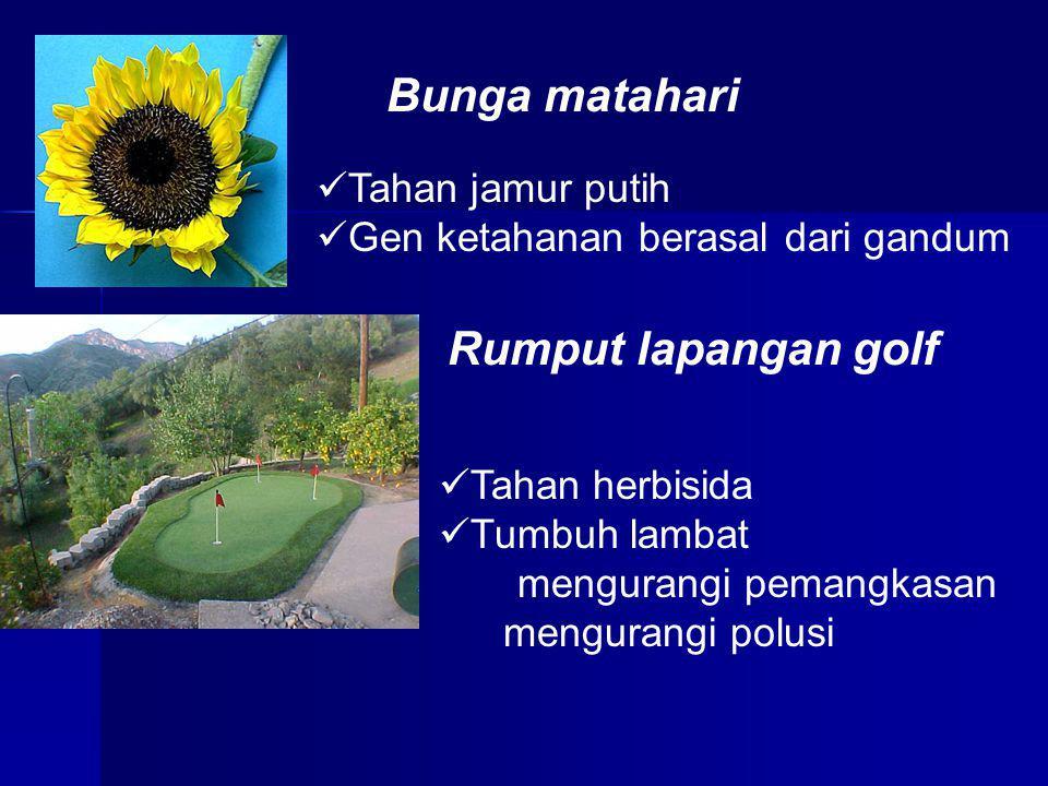 Bunga matahari Tahan jamur putih Gen ketahanan berasal dari gandum Rumput lapangan golf Tahan herbisida Tumbuh lambat mengurangi pemangkasan mengurang
