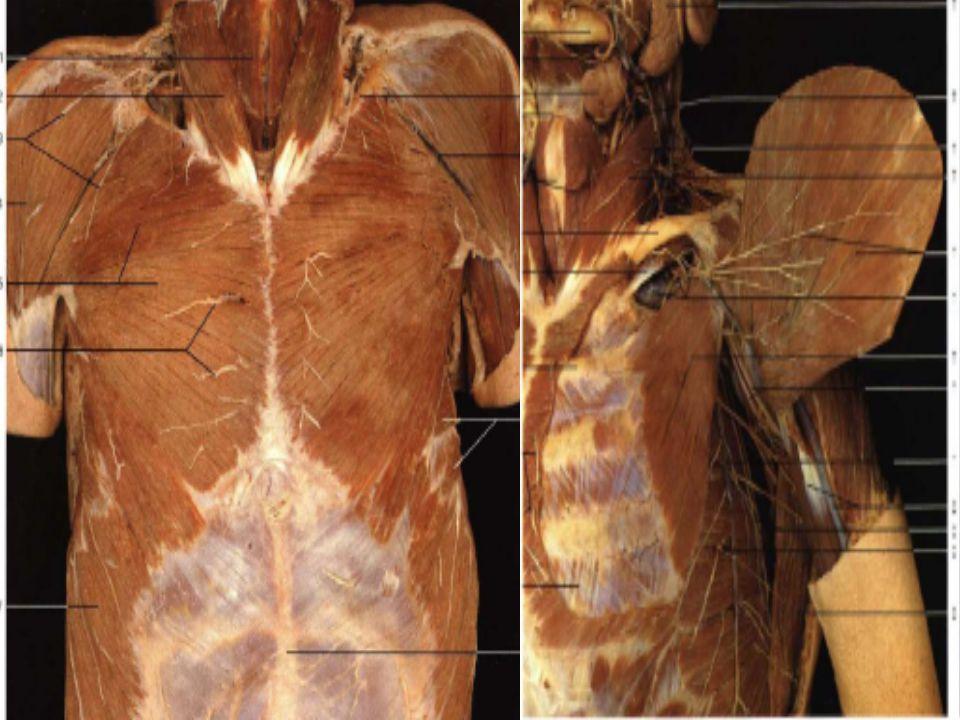 Diafragma Suatu bangunan berbentuk kubah yang memisahkan cavitas abdominalis dan cavitas thoracalis Berperan dalam pernafasan Terdiri atas otot dan jaringan fibrosa yang disebut centrum tendineum