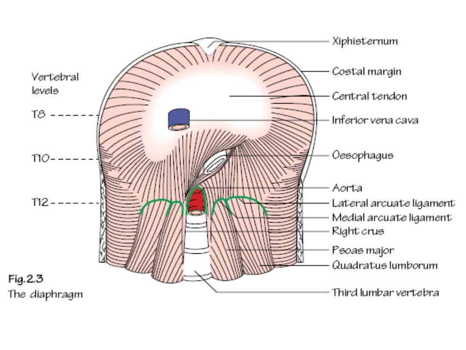 Rongga Dada Oleh karena adanya pulmo dan pleura, rongga dada dibagi menjadi 3 ruangan yaitu 2 cavum pleura dan mediastinum Mediastinum oleh suatu garis imajiner antara angulus sterni dan vertebra thoracalis 4 dibagi menjadi mediastinum superior dan mediastinum inferior