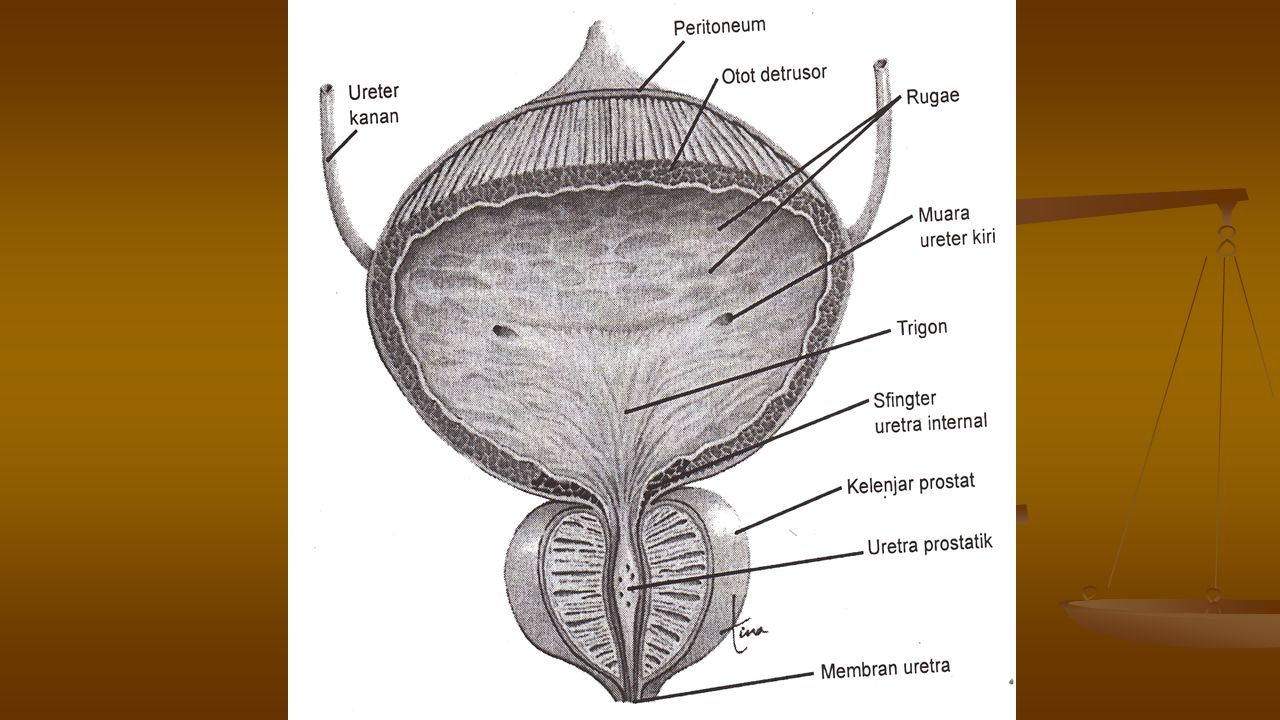 URETRA Uretra membawa urine keluar dari vesika urinaria.