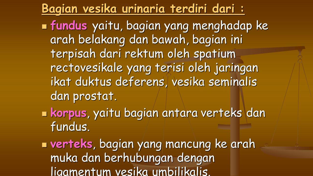 Bagian vesika urinaria terdiri dari : fundus yaitu, bagian yang menghadap ke arah belakang dan bawah, bagian ini terpisah dari rektum oleh spatium rectovesikale yang terisi oleh jaringan ikat duktus deferens, vesika seminalis dan prostat.