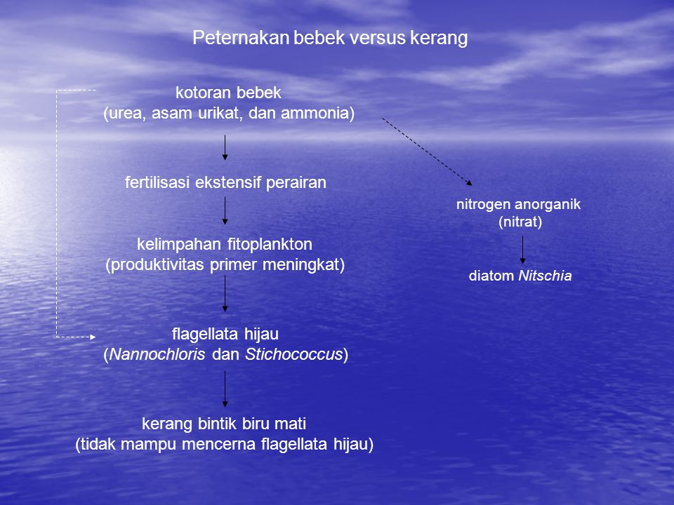 kotoran bebek (urea, asam urikat, dan ammonia) fertilisasi ekstensif perairan kelimpahan fitoplankton (produktivitas primer meningkat) flagellata hijau (Nannochloris dan Stichococcus) kerang bintik biru mati (tidak mampu mencerna flagellata hijau) Peternakan bebek versus kerang nitrogen anorganik (nitrat) diatom Nitschia