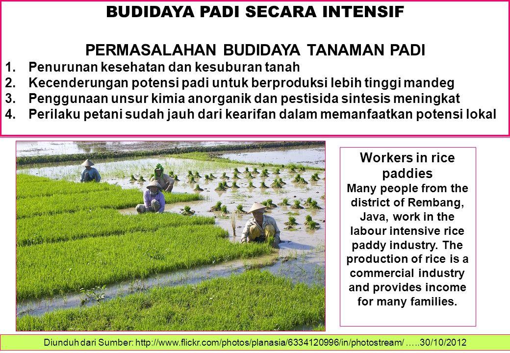 BUDIDAYA PADI SECARA INTENSIF PERMASALAHAN BUDIDAYA TANAMAN PADI 1.Penurunan kesehatan dan kesuburan tanah 2.Kecenderungan potensi padi untuk berprodu