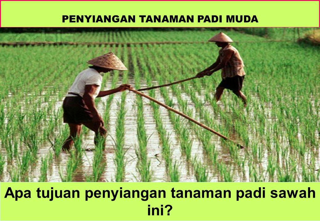 PENYIANGAN TANAMAN PADI MUDA Apa tujuan penyiangan tanaman padi sawah ini?