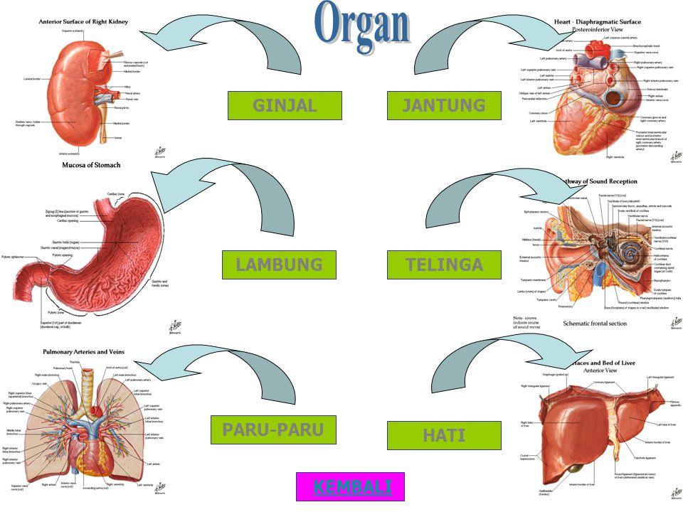 Sistem Sirkulasi Sistem Pencernaan Sistem Pernafasan Sistem Koordinasi SISTEM ORGAN KEMBALI