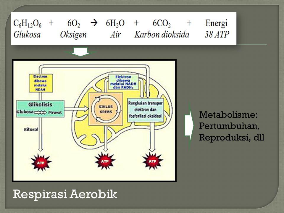 Respirasi Aerobik Metabolisme: Pertumbuhan, Reproduksi, dll