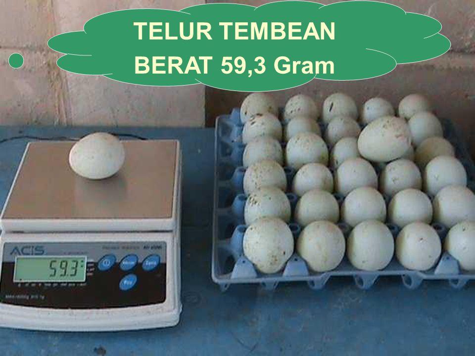 TELUR TEMBEAN BERAT 59,3 Gram