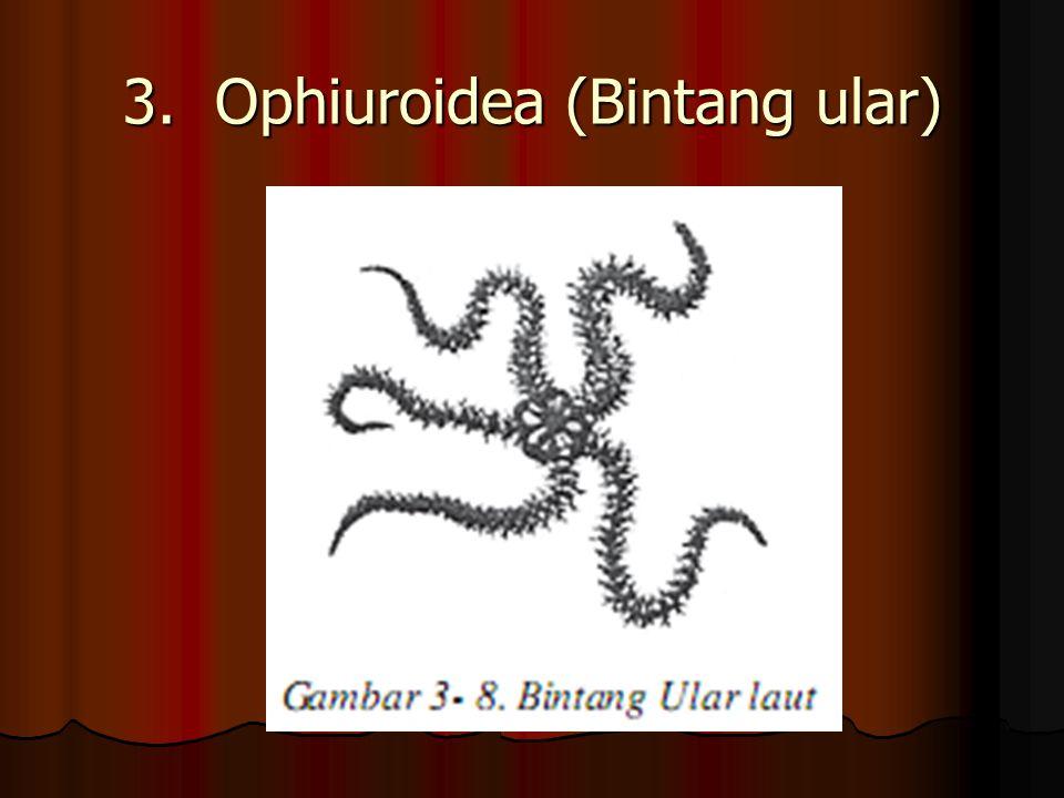 2. Echinoidea (Landak laut)