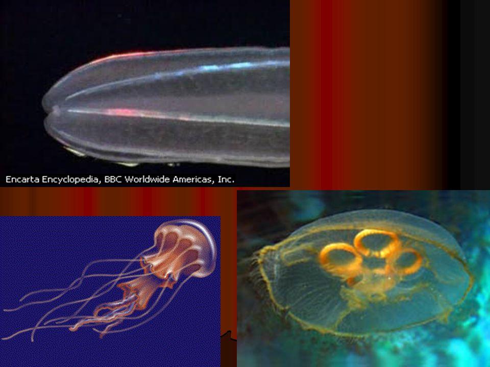 B. Scyphozoa Bentuk polip dan medusa Bentuk polip dan medusa A B
