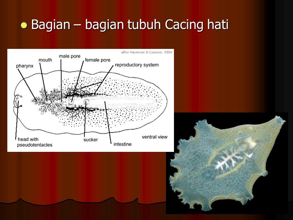 B. Trematoda CACING HATI CACING HATI alat isap digunakan untuk menempel dan menghisap makanan pada inangnya