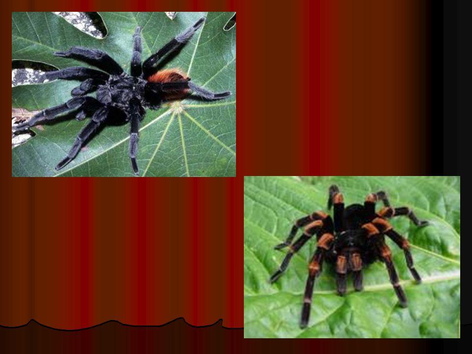 b. Arachnoidea (laba-laba) Laba-laba jaring kubah (terdapat di Bostwana, Afrika Selatan) Laba-laba jaring kubah (terdapat di Bostwana, Afrika Selatan)