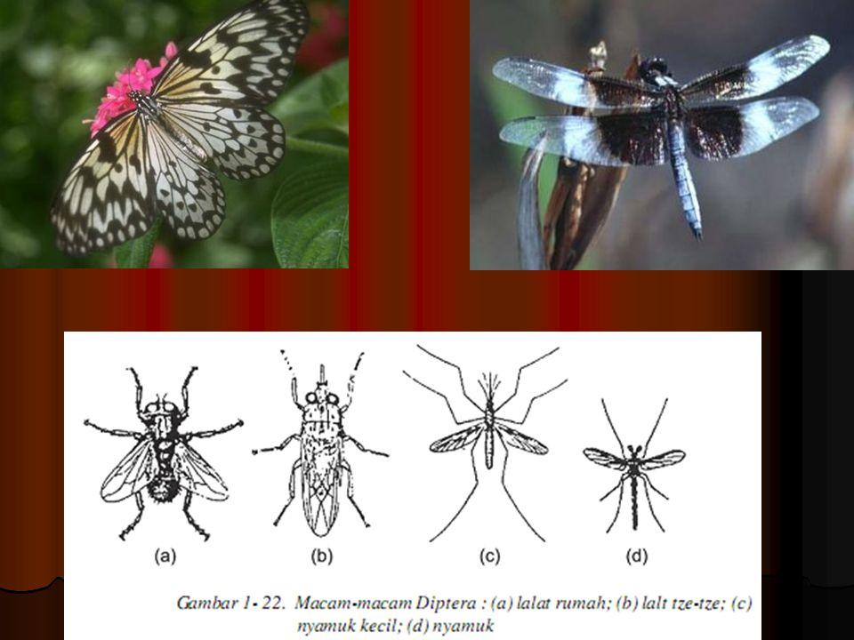 Holometabola Holometabola yaitu serangga yang mengalami metamorfosis sempurna. Holometabola yaitu serangga yang mengalami metamorfosis sempurna. Tahap