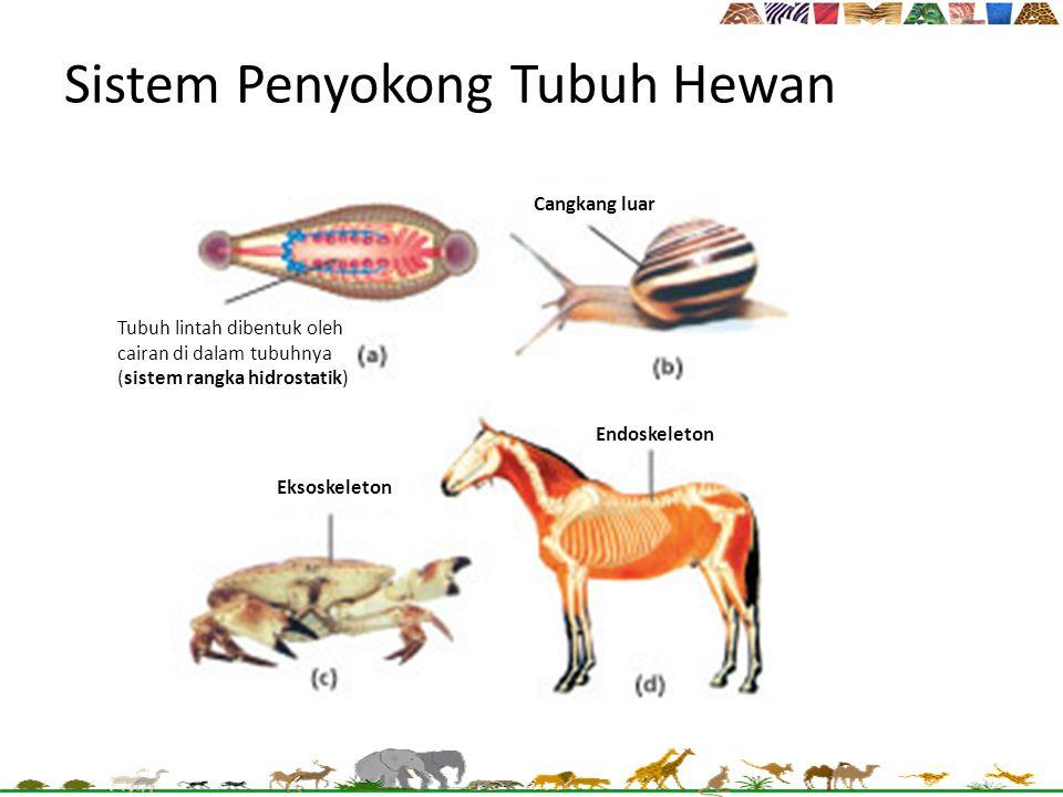 Sistem Penyokong Tubuh Hewan Cangkang luar Endoskeleton Eksoskeleton Tubuh lintah dibentuk oleh cairan di dalam tubuhnya (sistem rangka hidrostatik)