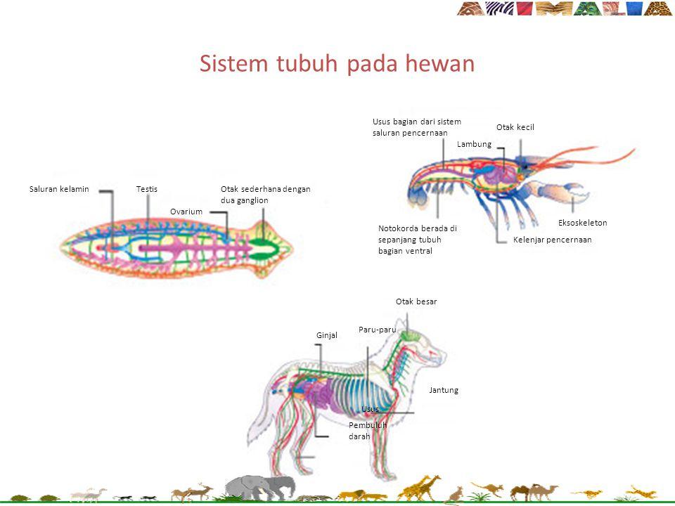 Sistem tubuh pada hewan Saluran kelaminTestisOtak sederhana dengan dua ganglion Ovarium Usus bagian dari sistem saluran pencernaan Otak kecil Lambung