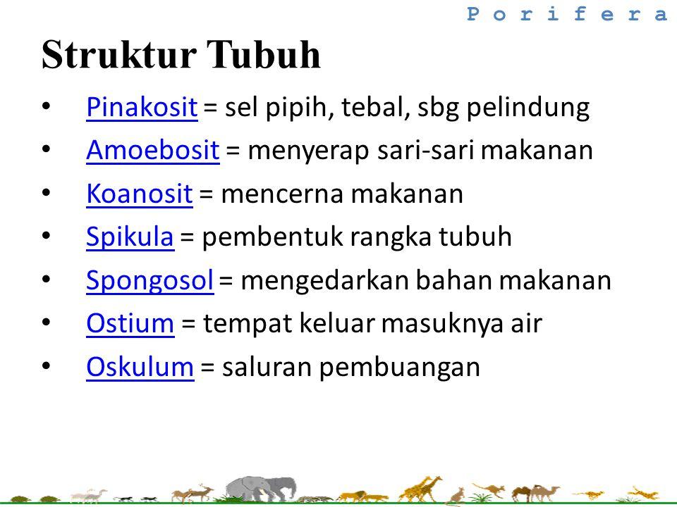 Struktur Tubuh Pinakosit = sel pipih, tebal, sbg pelindung Pinakosit Amoebosit = menyerap sari-sari makanan Amoebosit Koanosit = mencerna makanan Koan