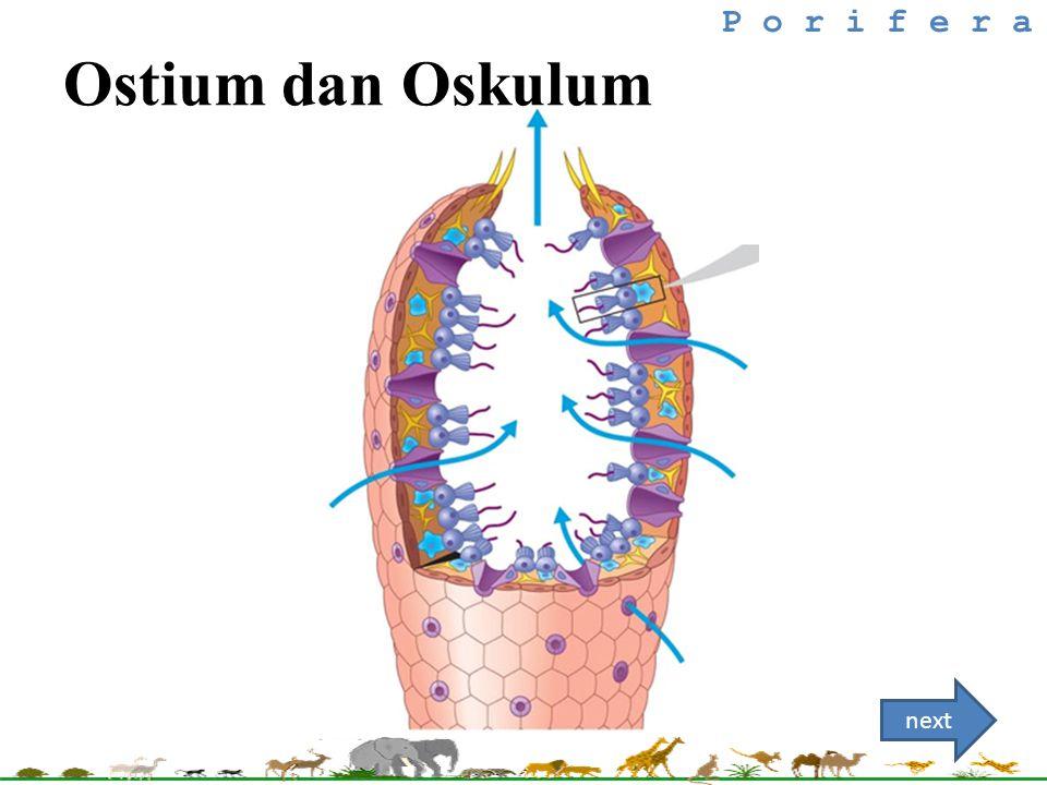 P o r i f e r a next Ostium dan Oskulum