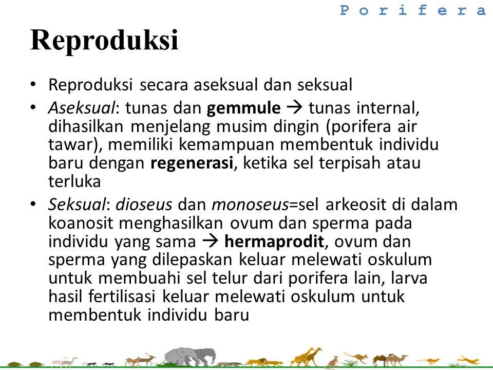 Reproduksi secara aseksual dan seksual Aseksual: tunas dan gemmule  tunas internal, dihasilkan menjelang musim dingin (porifera air tawar), memiliki