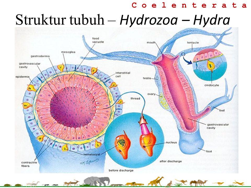 C o e l e n t e r a t a Struktur tubuh – Hydrozoa – Hydra