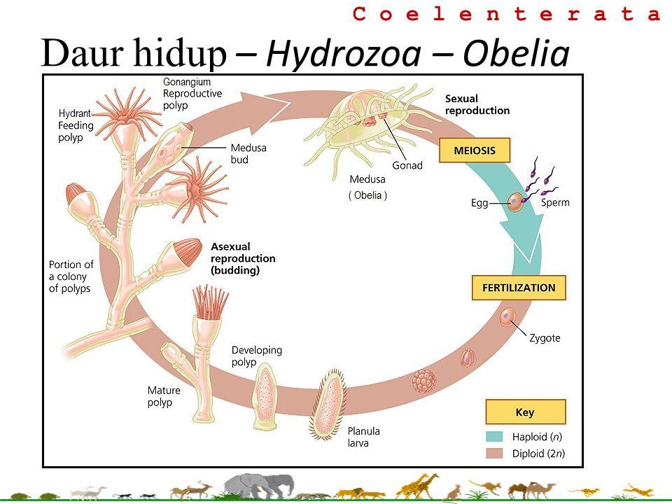 C o e l e n t e r a t a Daur hidup – Hydrozoa – Obelia