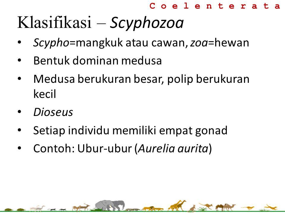 C o e l e n t e r a t a Klasifikasi – Scyphozoa Scypho=mangkuk atau cawan, zoa=hewan Bentuk dominan medusa Medusa berukuran besar, polip berukuran kec