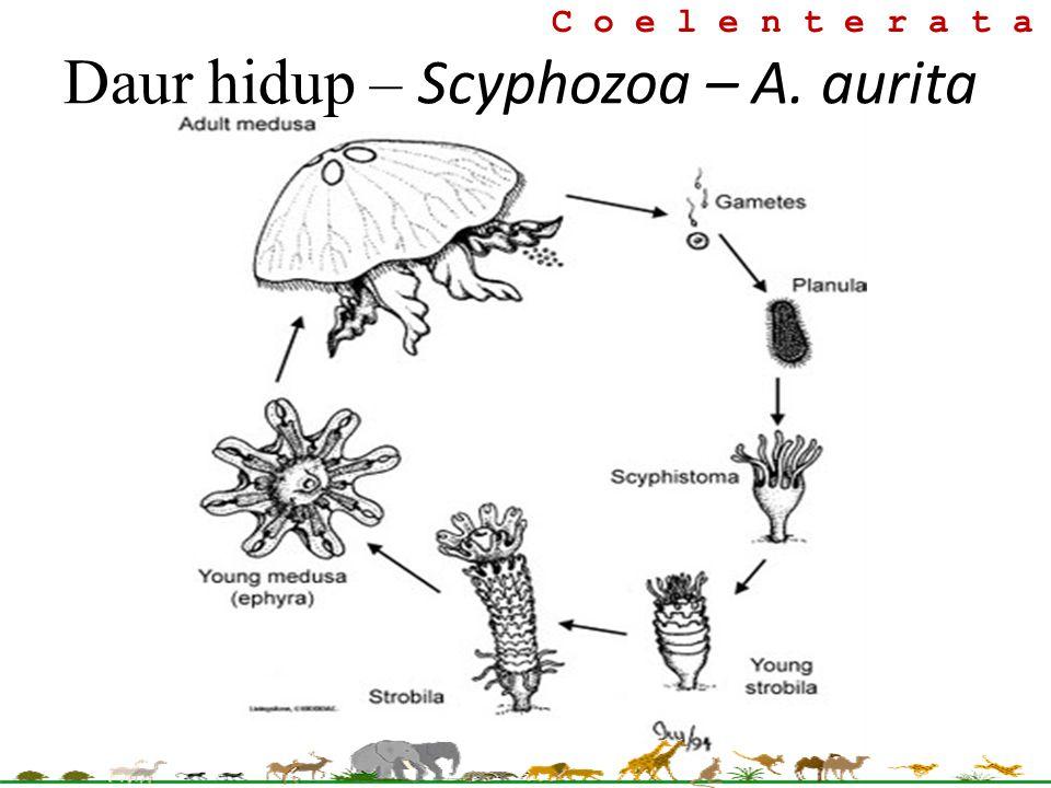 C o e l e n t e r a t a Daur hidup – Scyphozoa – A. aurita