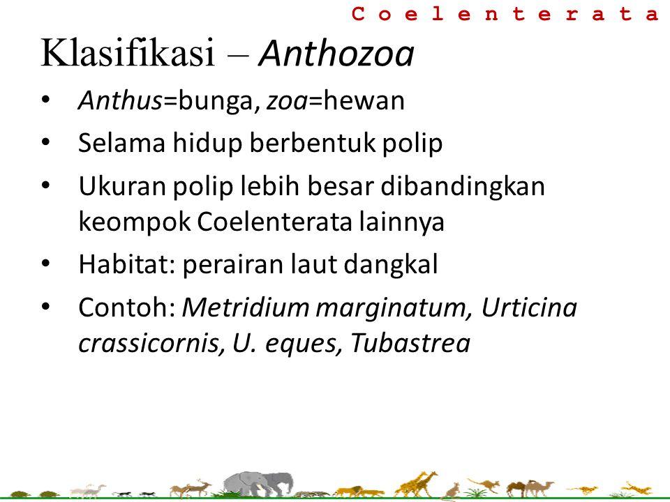 C o e l e n t e r a t a Klasifikasi – Anthozoa Anthus=bunga, zoa=hewan Selama hidup berbentuk polip Ukuran polip lebih besar dibandingkan keompok Coel