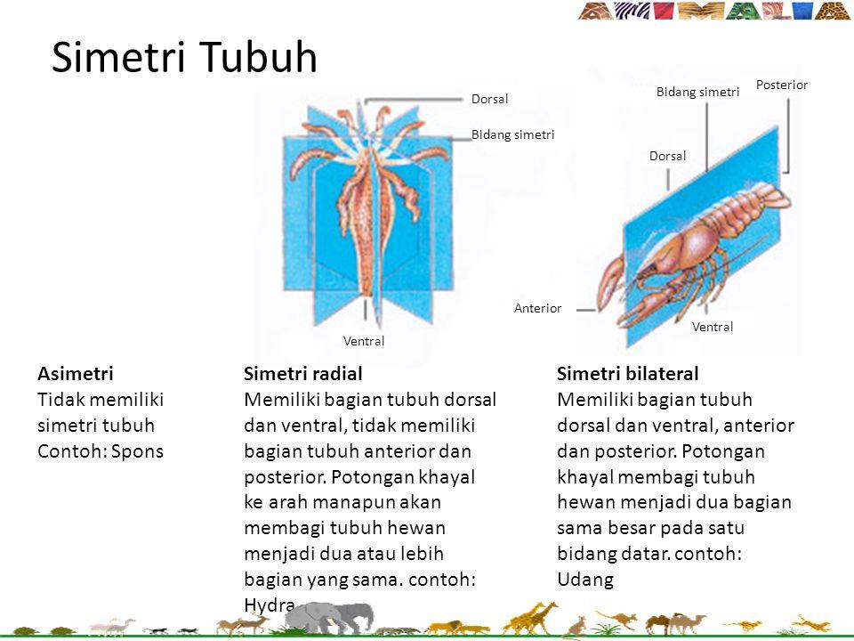 Simetri radial Memiliki bagian tubuh dorsal dan ventral, tidak memiliki bagian tubuh anterior dan posterior. Potongan khayal ke arah manapun akan memb