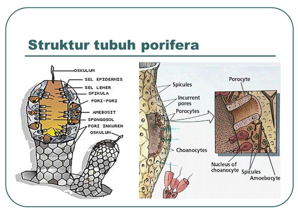 Struktur tubuh porifera