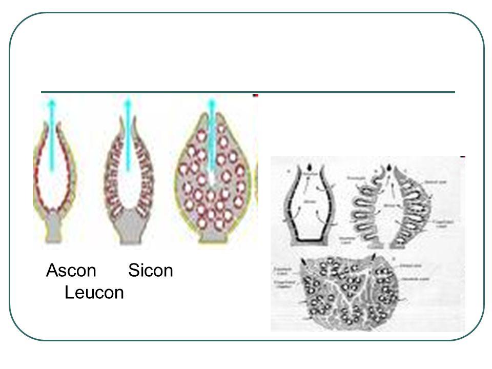 Ascon Sicon Leucon