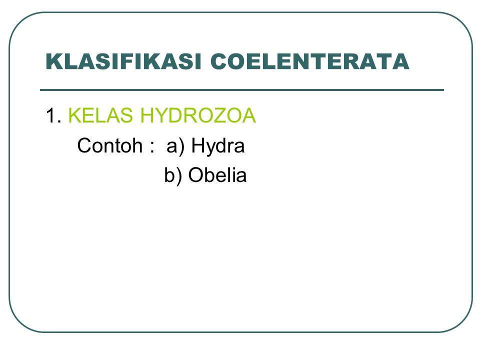 KLASIFIKASI COELENTERATA 1. KELAS HYDROZOA Contoh : a) Hydra b) Obelia