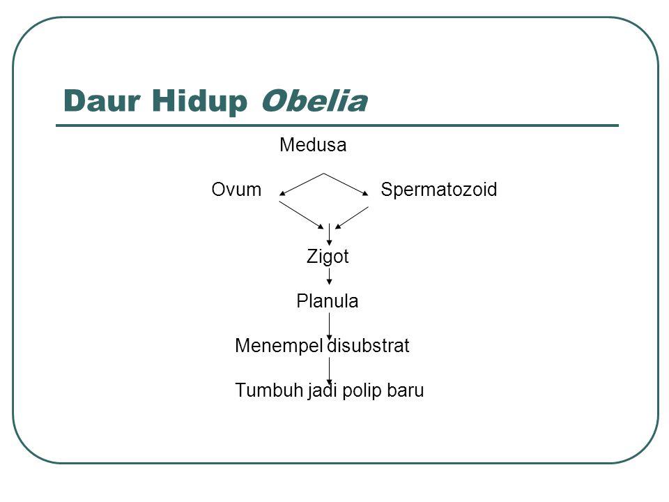 Daur Hidup Obelia Medusa OvumSpermatozoid Zigot Planula Menempel disubstrat Tumbuh jadi polip baru