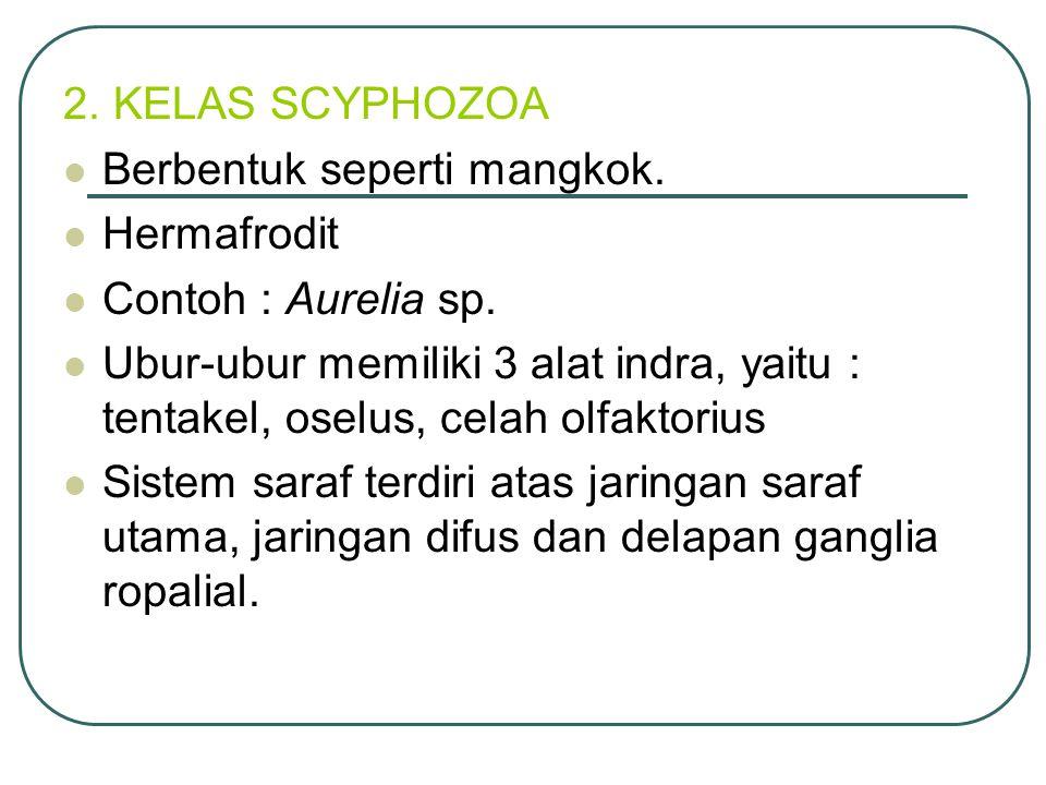 2.KELAS SCYPHOZOA Berbentuk seperti mangkok. Hermafrodit Contoh : Aurelia sp.