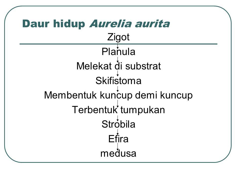 Daur hidup Aurelia aurita Zigot Planula Melekat di substrat Skifistoma Membentuk kuncup demi kuncup Terbentuk tumpukan Strobila Efira medusa