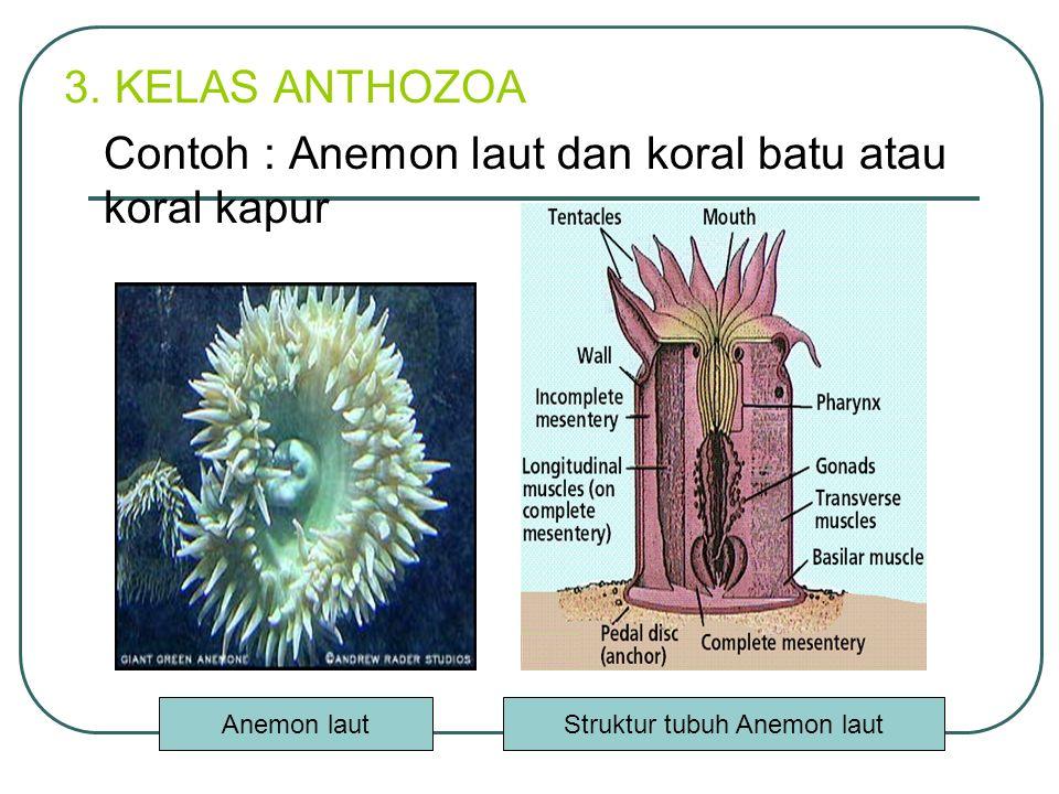 3. KELAS ANTHOZOA Contoh : Anemon laut dan koral batu atau koral kapur Anemon lautStruktur tubuh Anemon laut