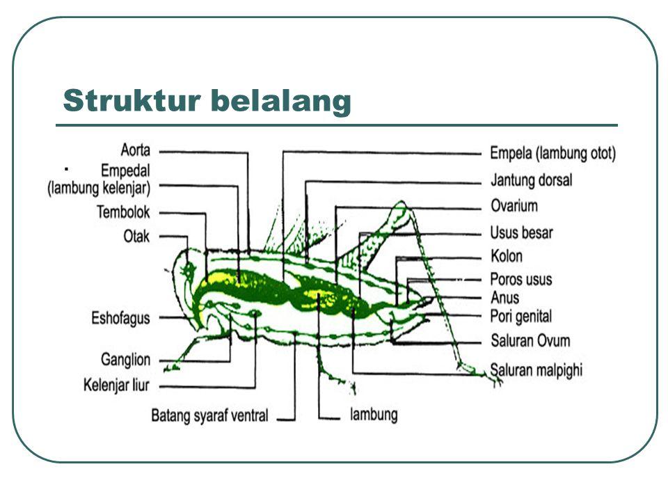Struktur belalang.