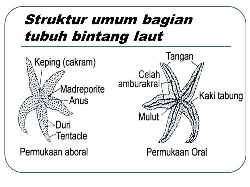 Struktur umum bagian tubuh bintang laut
