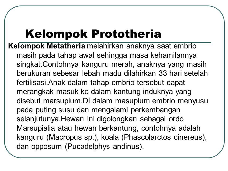 Kelompok Prototheria Kelompok Metatheria melahirkan anaknya saat embrio masih pada tahap awal sehingga masa kehamilannya singkat.Contohnya kanguru merah, anaknya yang masih berukuran sebesar lebah madu dilahirkan 33 hari setelah fertilisasi.Anak dalam tahap embrio tersebut dapat merangkak masuk ke dalam kantung induknya yang disebut marsupium.Di dalam masupium embrio menyusu pada puting susu dan mengalami perkembangan selanjutunya.Hewan ini digolongkan sebagai ordo Marsupialia atau hewan berkantung, contohnya adalah kanguru (Macropus sp.), koala (Phascolarctos cinereus), dan opposum (Pucadelphys andinus).