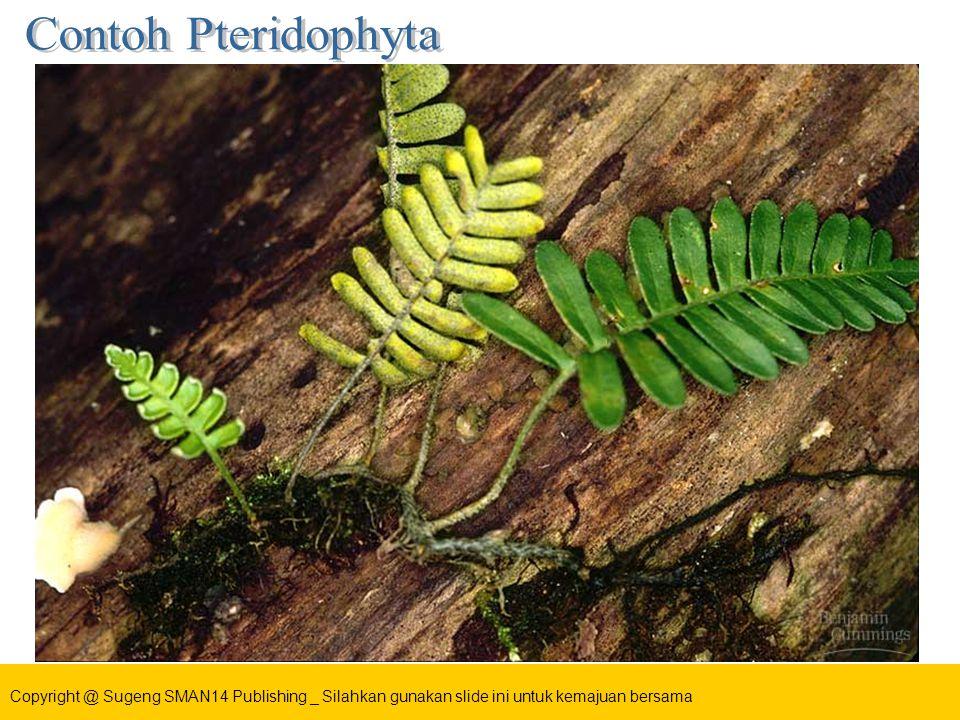 1.Telah dapat dibedakan akar, batang dan daunnya 2.Spora dihasilkan pada sporofil, terutama di bawah daunnya 3.Daun mudanya tumbuh menggulung (circinatus) 4.Contoh : Pteris, Adiantum cuneatum, Semanggi (Marsilea sp) dll Circinatus